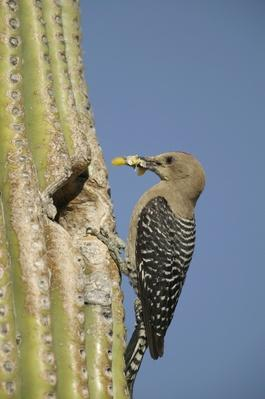 Gila Woodpecker (Melanerpes uropygialis) | Animals, Habitats, and Ecosystems