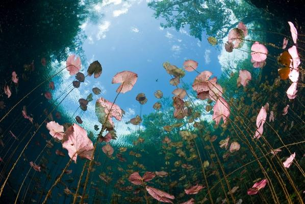 Water Lilies - Yucatan Peninsula, Mexico | Earth's Surface