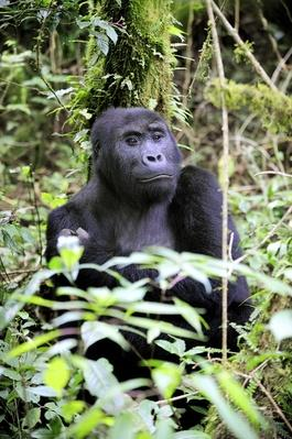 Eastern lowland gorilla in the equatorial forest of Kahuzi Biega Park