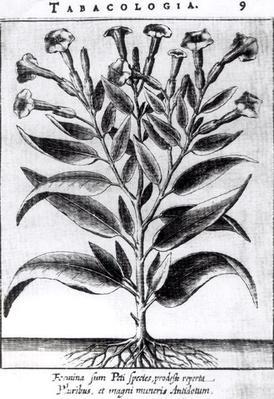 A Tobacco Plant, 1622