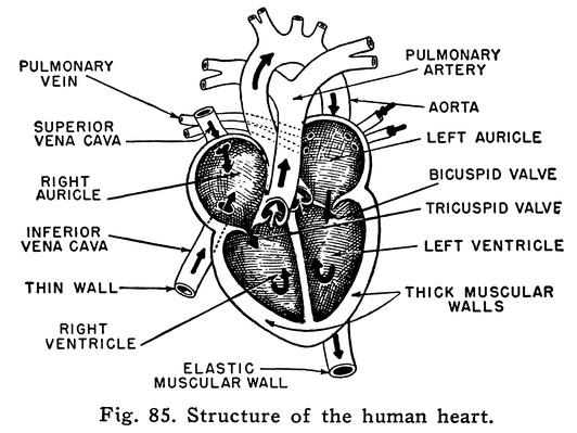 Diagram of Heart | Science and Technology