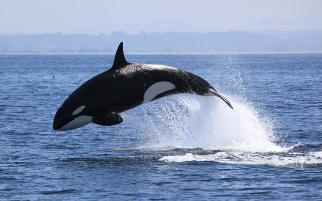 Killer Whale | Animals, Habitats, and Ecosystems