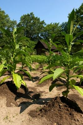 Tobacco Field at the Farm at the Yorktown Victory Center | Earth's Resources