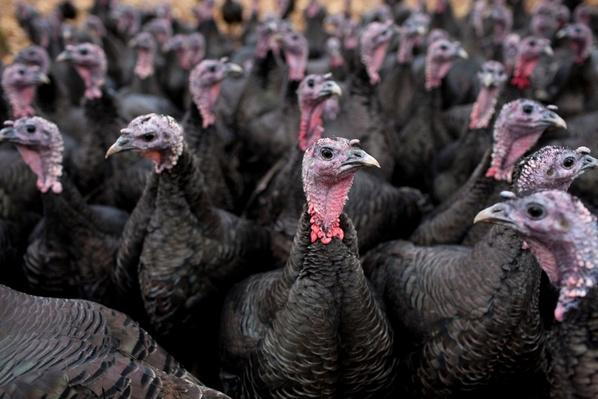 Bronze Free-Range Turkeys | Earth's Resources