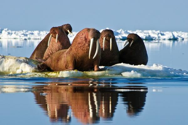 Male walrus during spring migration in Bering sea | Animals, Habitats, and Ecosystems