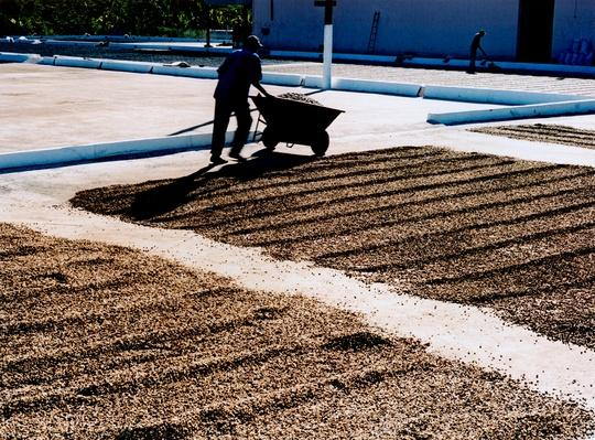 Coffee Beans Drying| Earth's Resources