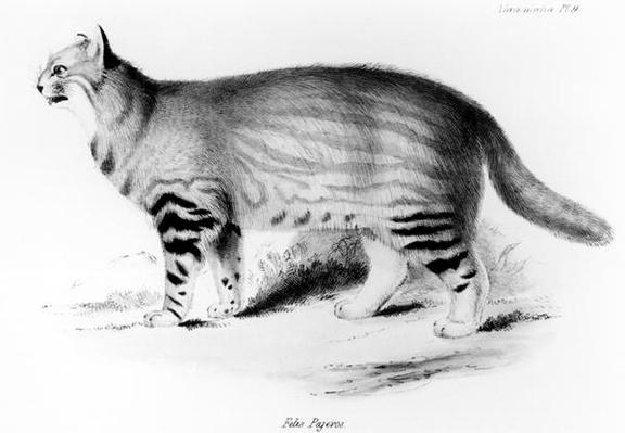 Felis Pajeros, plate 9 from 'Zoology of the Voyage of the Beagle: Mammals' by Charles Darwin