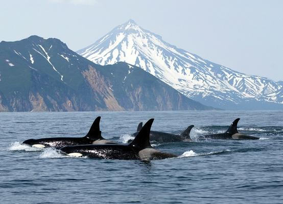 killer whales | Animals, Habitats, and Ecosystems