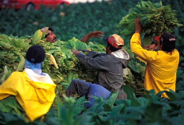 Workers Piling Tobacco on to Cart | Earth's Resources