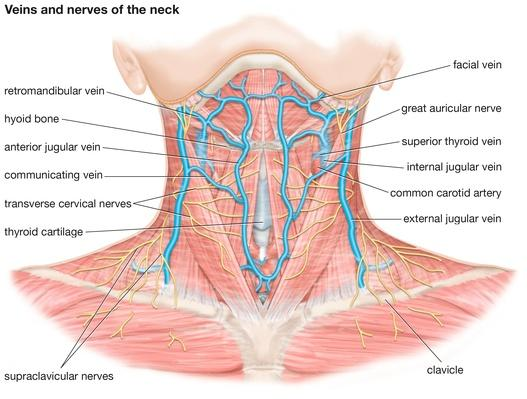 Veins and nerves of the neck | Science and Technology