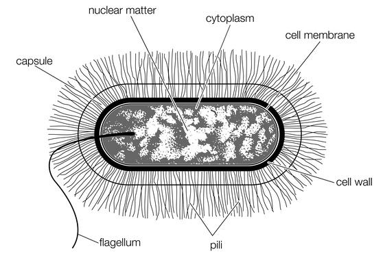 The structure of a typical bacterial cell of the bacillus type | Science and Technology