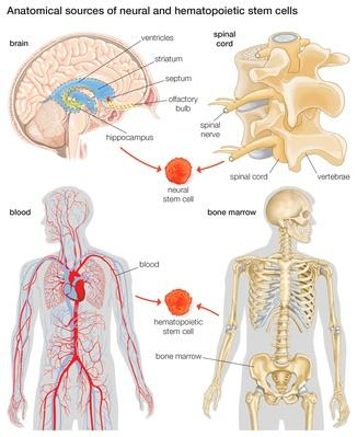 Anatomical sources of neural and hematopoietic stem cells | Science and Technology