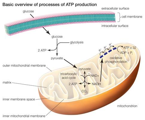 The three processes of ATP production | Science and Technology