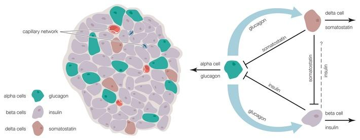 The islets of Langerhans contain alpha, beta, and delta cells | Science and Technology