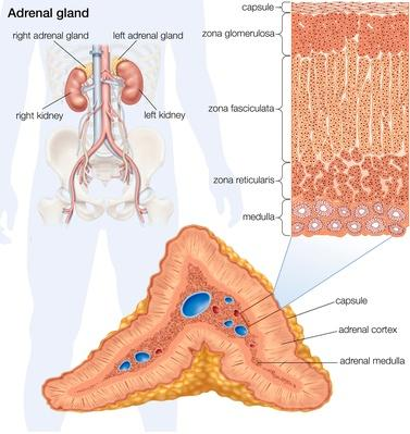 The human adrenal gland | Science and Technology