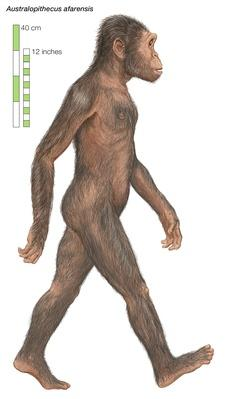 "Australopithecus afarensis, the ""southern ape"" 