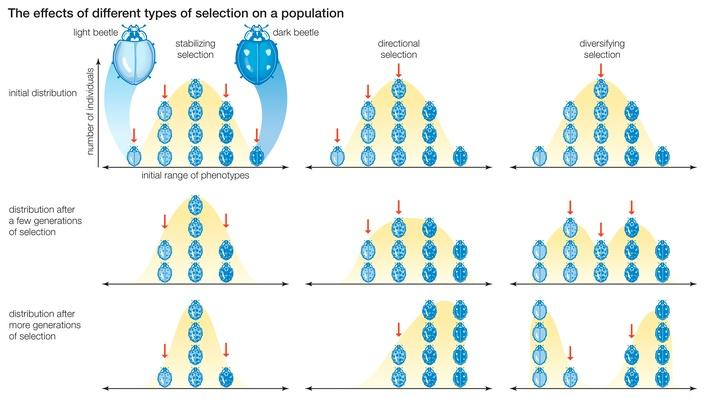 Natural selection's effects phenotypes within a population | Science and Technology