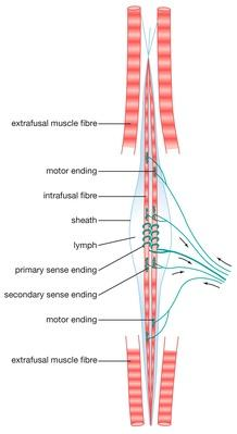 Diagram of a mammalian muscle spindle | Science and Technology