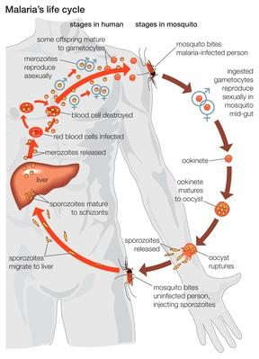The life cycle of a malaria parasite   Science and Technology
