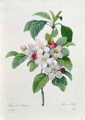 Apple Blossom, from 'Les Choix des Plus Belles Fleurs', engraved by Chapuy