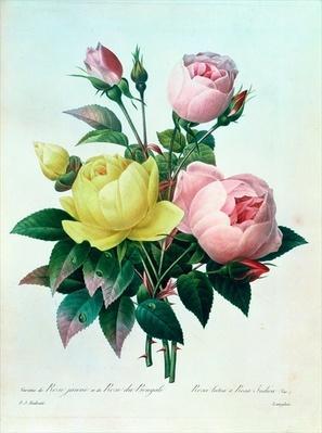 Rosa Lutea and Rosa Indica, from 'Les Choix des Plus Belles Fleurs', 1827