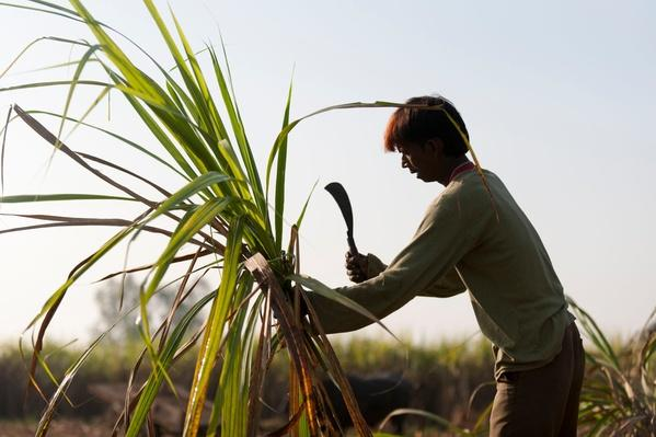 A Man Trims off the Excess Leaves From a Bunch of Sugarcane | Earth's Resources