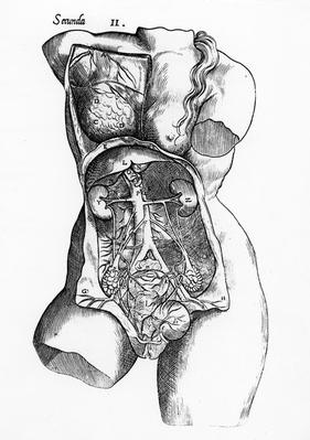 Anatomical study of the female human body
