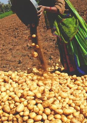 Potato Gathering | Earth's Resources