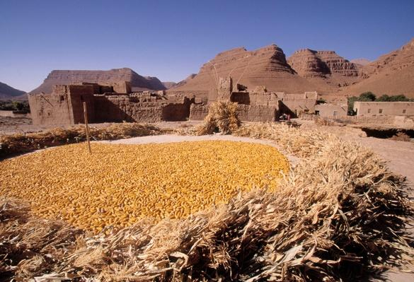 Corn Harvest at Kasbah of Ifri, Ziz Valley, Morocco | Earth's Resources