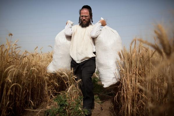 Orthodox Jews Harvest Wheat For Next Year's Passover | Earth's Resources