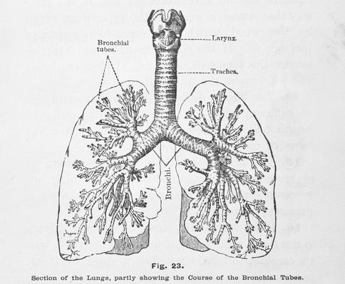 Antique Medical Illustration , Respiratory System | Science and Technology