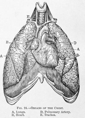 Antique Medical Illustration , Chest organs | Science and Technology