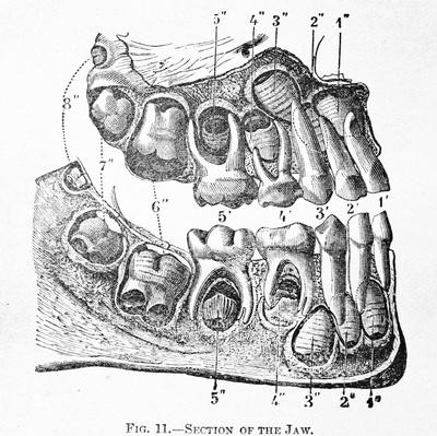 Antique Medical Illustration | Human teeth | Science and Technology