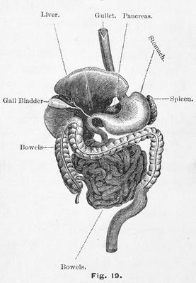 Antique medical illustration , Digestive System | Science and Technology
