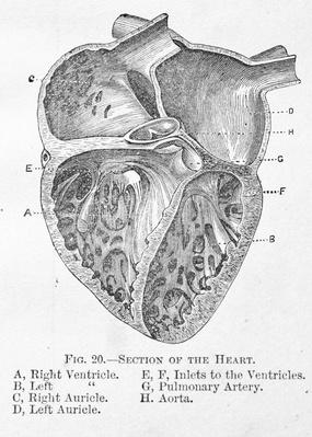 Antique medical illustration | Chambers of the Human Heart | Science and Technology