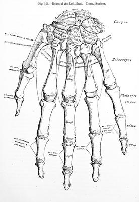 Antique Medical Illustration , Human hand | Science and Technology