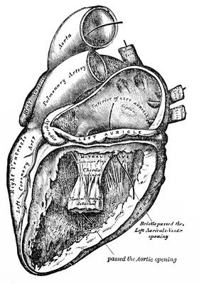 Antique Medical Illustration , Human heart | Science and Technology