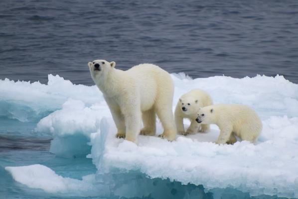 Female polar bear with cubs on iceberg | Animals, Habitats, and Ecosystems