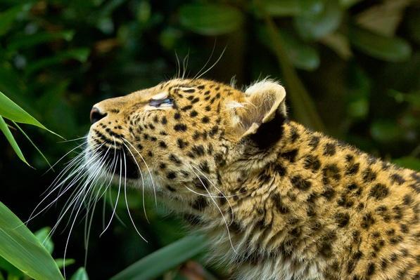 Amur Leopard profile