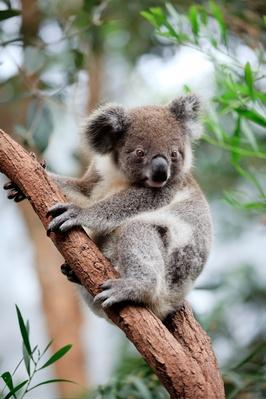 Koala on tree | Animals, Habitats, and Ecosystems