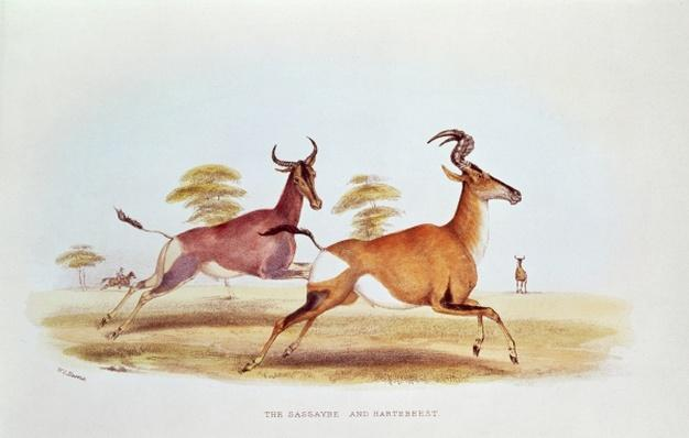 The Sassaybe and the Hartebeest, illustration from 'Wild Sports of South Africa', by W.C. Harris, 1841