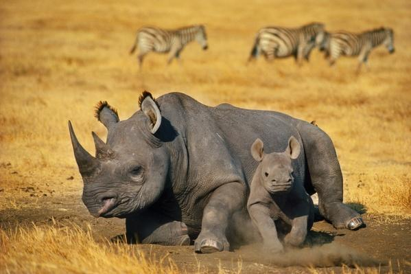 Black rhinoceros mother with calf, Diceros bicornis