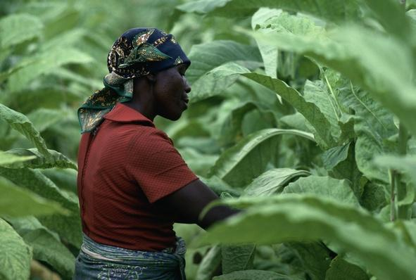 A Tobacco Plantation Worker in the Highlands of Zimbabwe | Earth's Resources