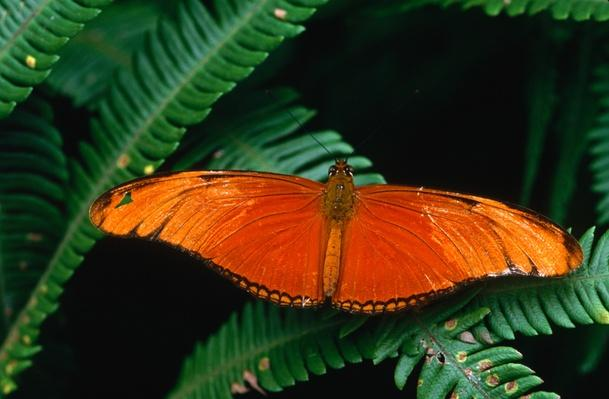 A Heliconiid butterfly (Dryas iulia:Heliconidae) | Animals, Habitats, and Ecosystems