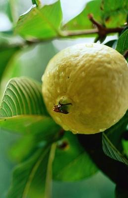 Guava on Tree | Earth's Resources