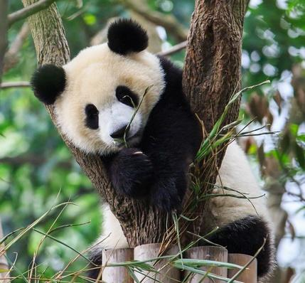 Panda cub resting on tree | Animals, Habitats, and Ecosystems