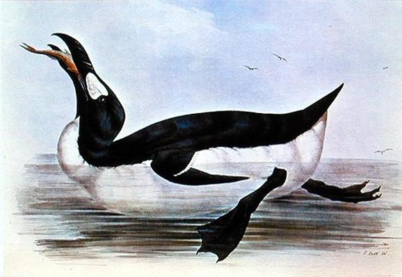 The Great Auk, illustration from 'The Birds of Europe' by J. Gould, 1832-37