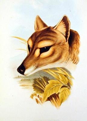 Tasmanian Wolf or Tiger
