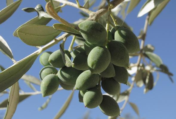 Greece Travel Destination: Olives | Agriculture and Forestry