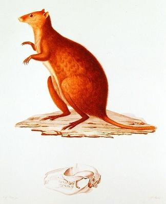 The Wallaby or Short-Tailed Kangaroo